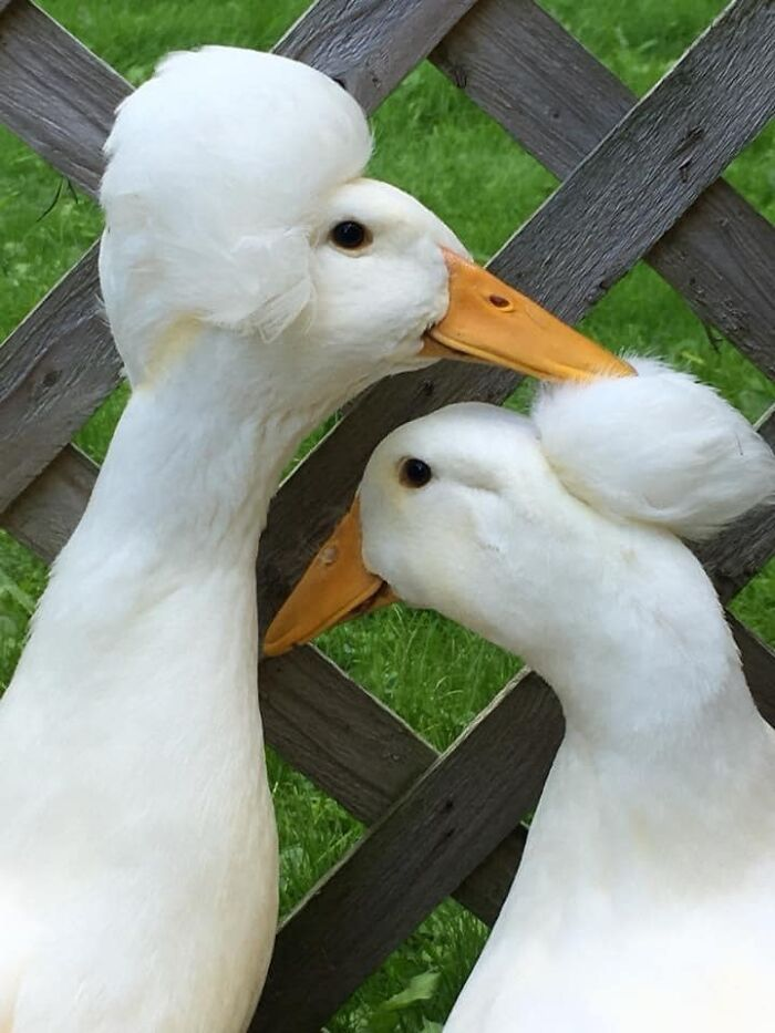 Meet Gertrude, The Duck With More Stylish Hair Than Yours