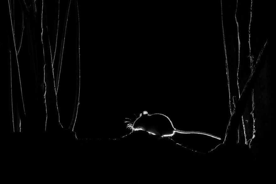 """""""Silhouetted Wood Mouse"""" By John Formstone"""