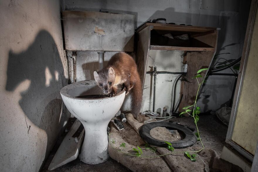 """""""Pine Marten In An Abandoned Cottage"""" By James Roddie"""