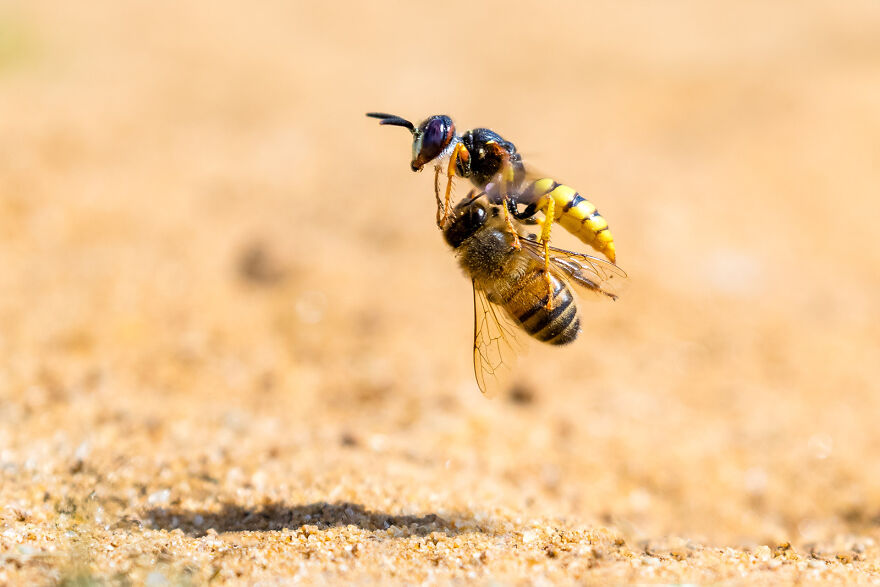 """Bee Wolf With Honeybee Prey"" By Simon Jenkins"