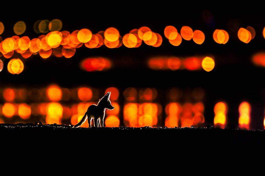 """The Fox Of Arabia"" By Mohammad Murad"
