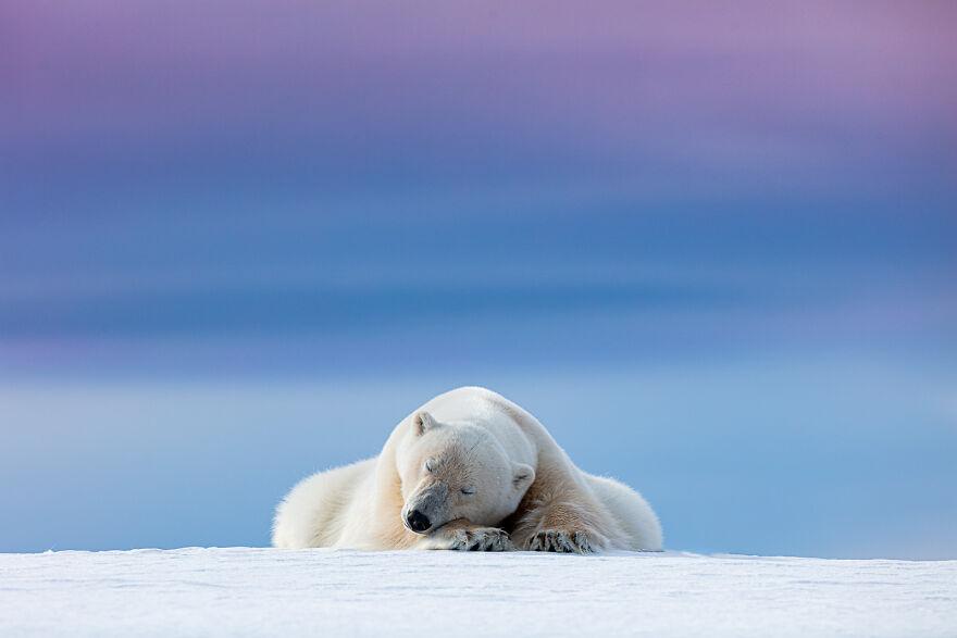 """Sleepy Polar Bear"" By Dennis Stogsdill"