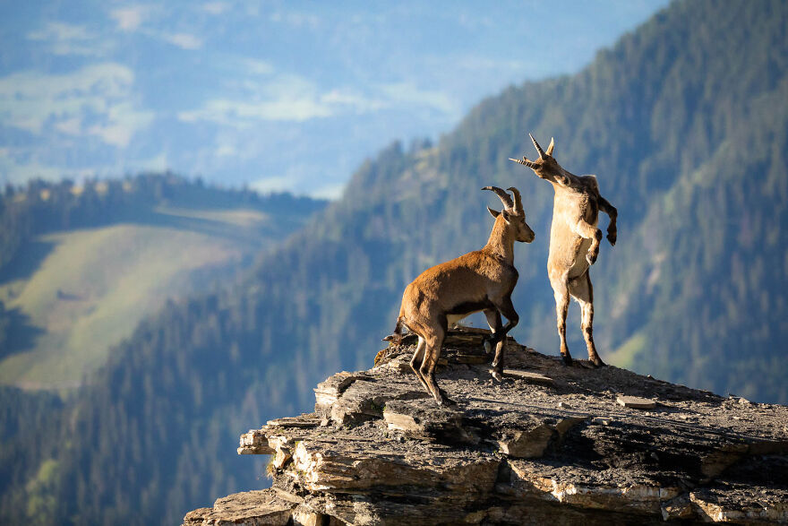 """""""Fight In The Mountains"""" By Raphael Schenker"""