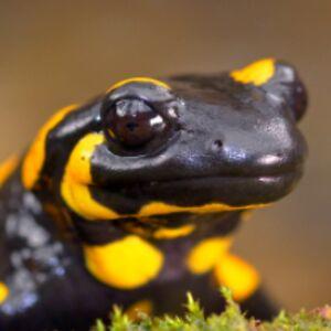 Furious Salamander