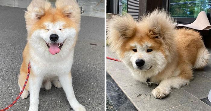 30 Pics Capturing This Adorable Akita Named Bob Who Has A Unique Heart-Shaped Face