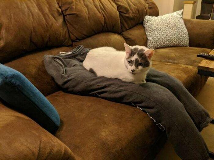 Mi novia trabaja desde casa y ha hecho un regazo falso para que el gato no la distraiga