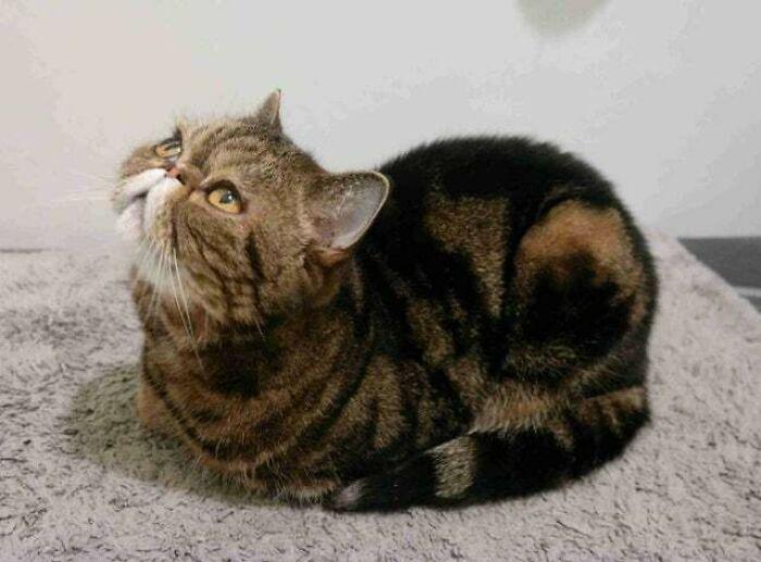 Este es mi gato rollo de carne, haciendo honor a su nombre