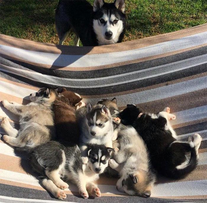 Hamaca repleta de huskies