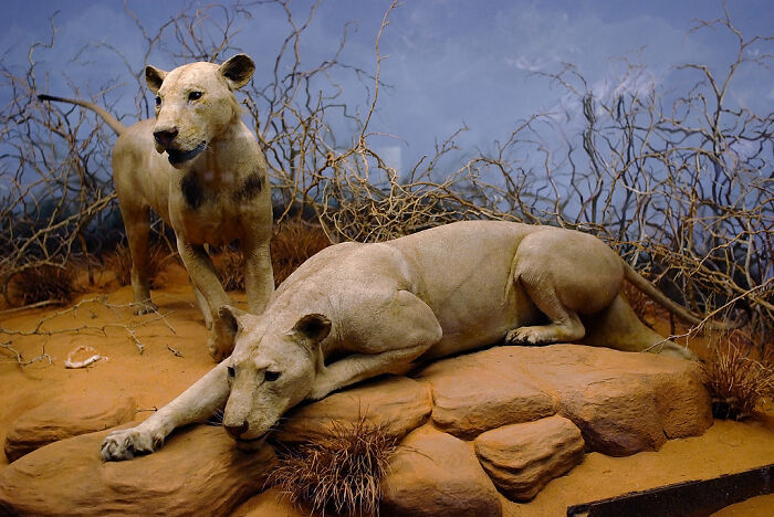 Jaw Pain Drove The Tsavo Lions To Hunt People