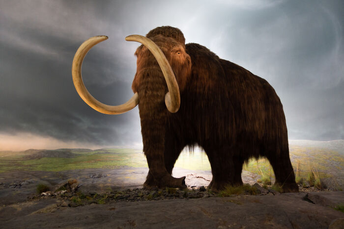 Male Woolly Mammoth Went Extinct Due To Poor Living Arrangements