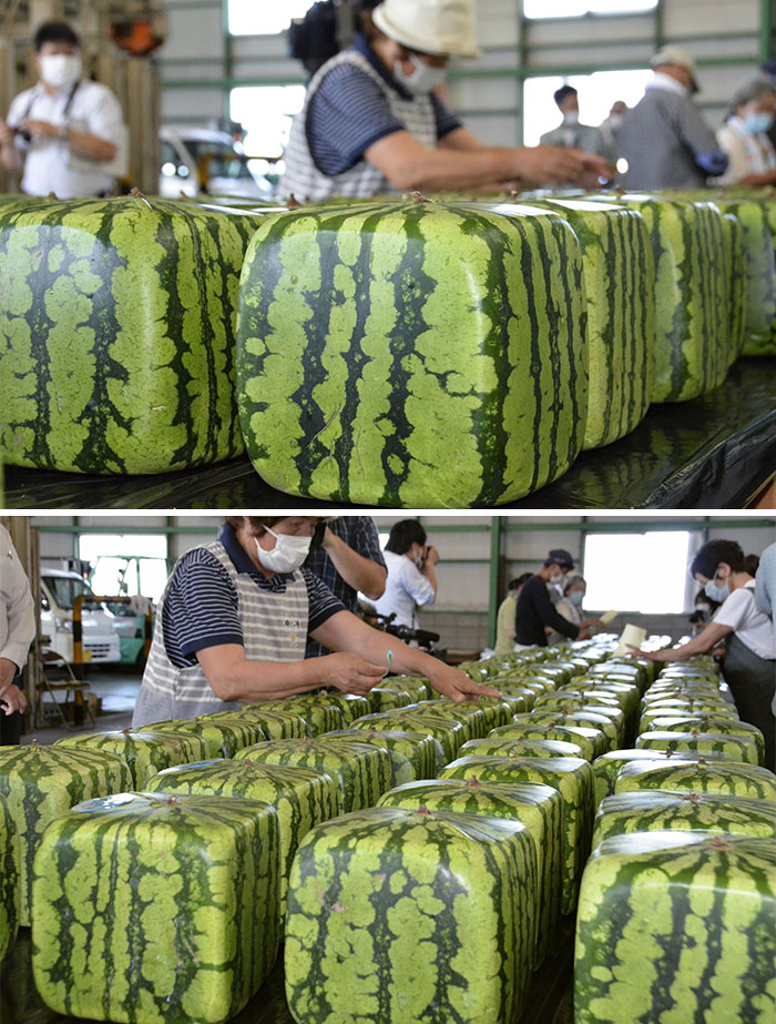 These Square Watermelons In Japan - Grown In Boxes To Shape Them While On The Vine - For Convenient Stacking, Shipping, And Refrigerator Storage