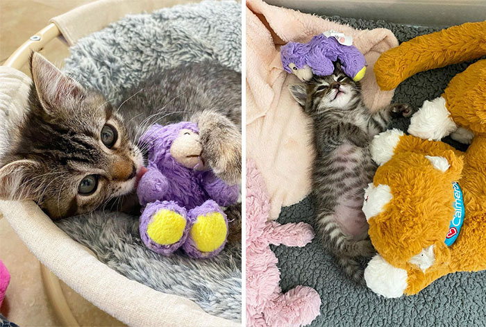 This Kitten Carries Her Toy Named Lamby Beans Everywhere After Being Brought Into Foster Care Alone