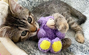 This Kitten Carries Her Toy Named Lamby Bean Everywhere After Being Brought Into Foster Care Alone