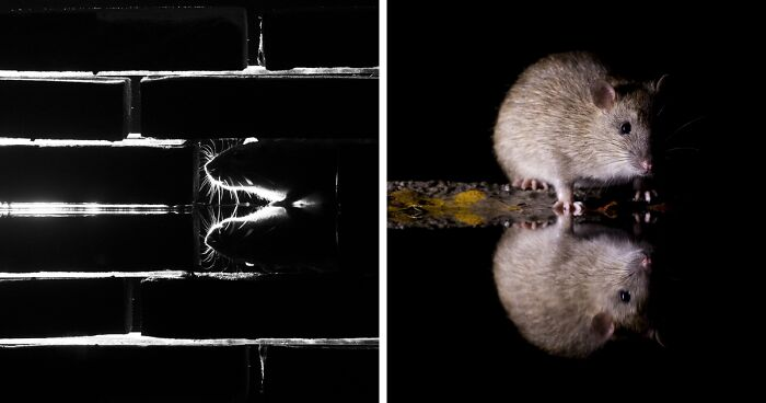 To Change People's Negative Perceptions Of Rats, I Started Photographing Them In A Nice Way (19 Pics)