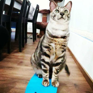 Meet Nipa, A Talented Therapy Cat Who Knows Over 50 Tricks