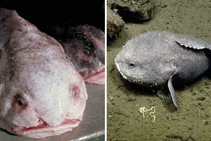 Blobfish Are Not Actually That Ugly - Most Photos Are Taken After It Has Been Pulled Out Of The Water And Suffered Tissue Damage. Their Natural Habitat Is At Extremely Low Depths