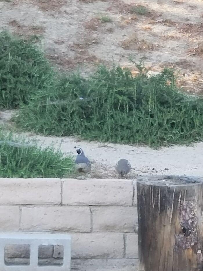 "The California State Bird Says, ""Chi-Ca-Go!"""