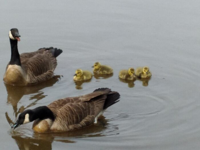Mama, Dad And Baby Canadian Geese Been Parading Around The Pond