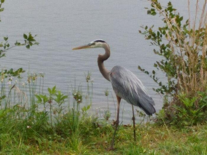 Blue Heron Near Chattahoochee, Cumberland Area Ga