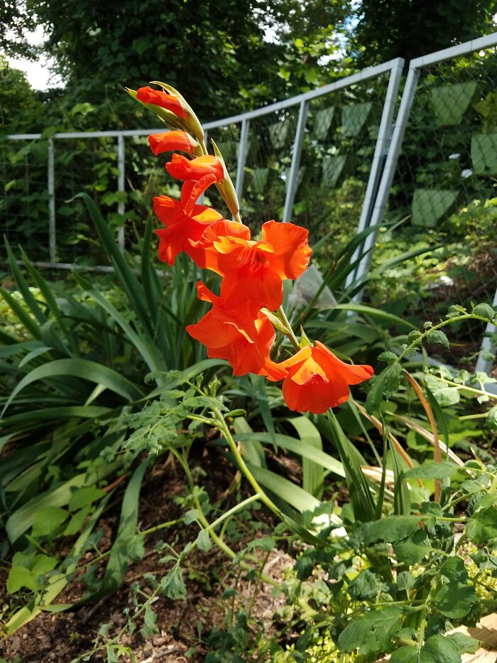 Planted Gladiolus Bulbs This Year. Only One Bloomed. These Blooms Were So Perfect They Looked Fake!