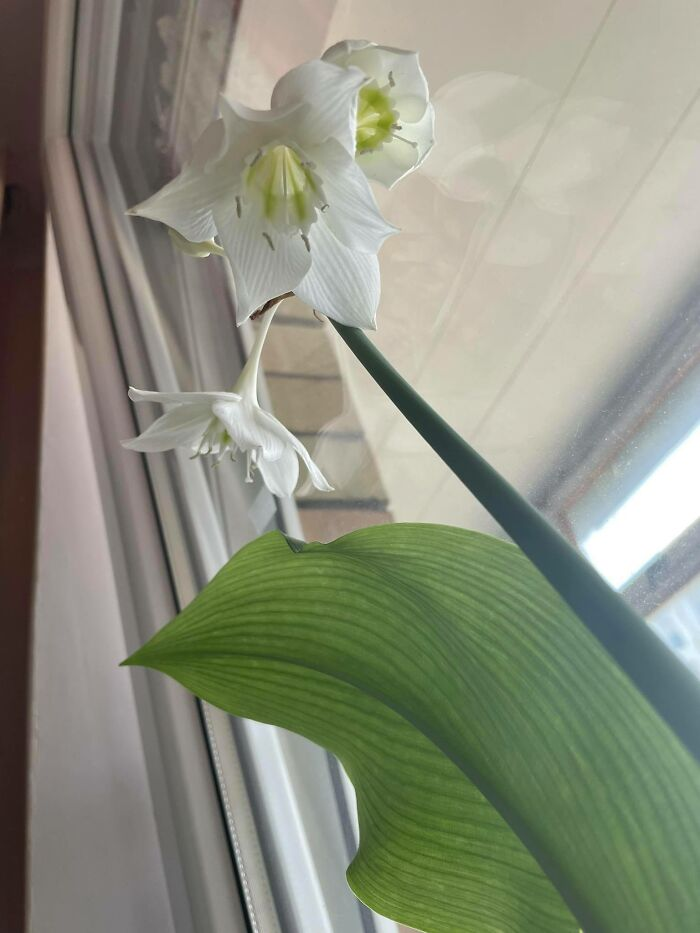 Proud Of My Blooming Amaryllis