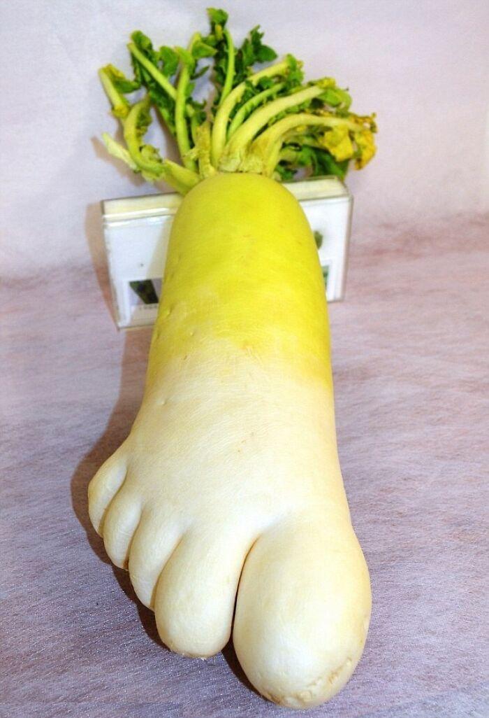 Foot Shaped Radish Goes On Display