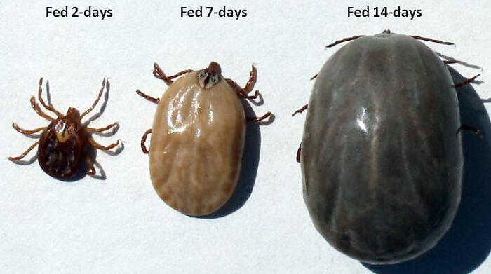 The Growth Of A Tick In The Span Of Two Weeks