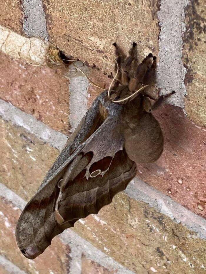 Antheraea Polyphemus... Basically A Tarantula With Wings