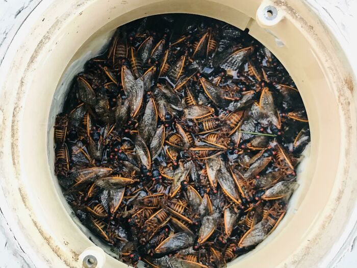 The Amount Of Cicadas In My Pool Skimmer After One Day