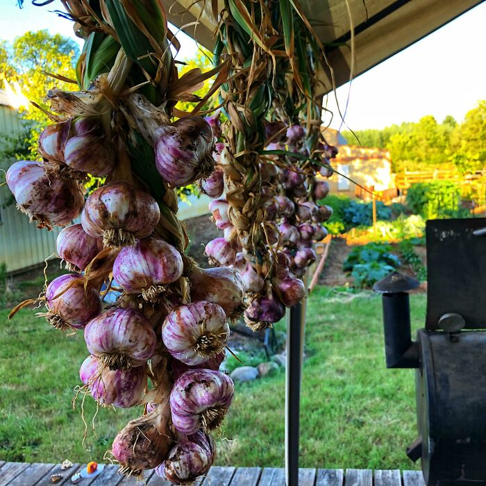 Spent $2 On 4 Heads Of Garlic Last Fall, Now I Have Over 70 Heads Of Garlic All Braided Together