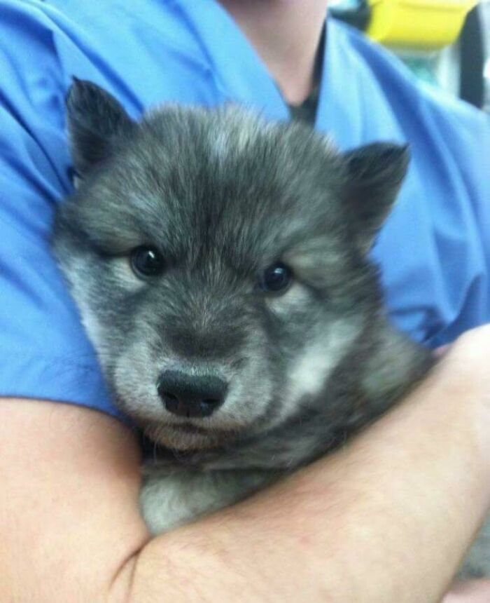 Wolf Pupper That Came Into The Veterinary Clinic