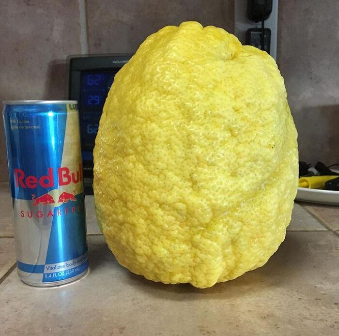 Limón gigante de nuestro árbol
