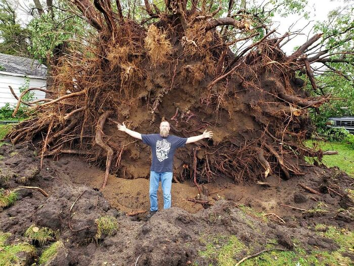 This Tree Was Uprooted In A Storm Last Night That Destroyed The Mans Garage And Two Of Us Vintage Cars