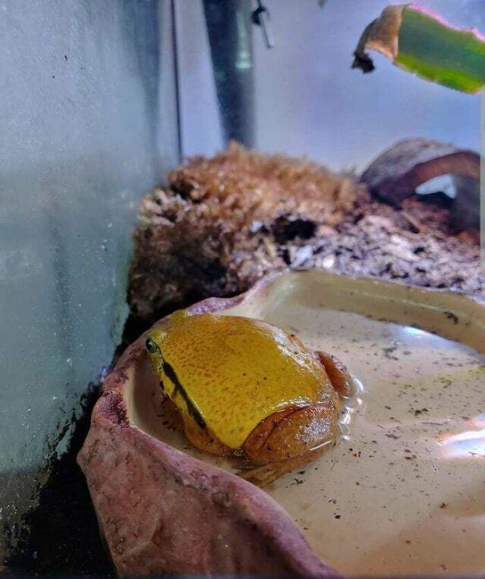 Una rana que parece queso en una hamburguesa