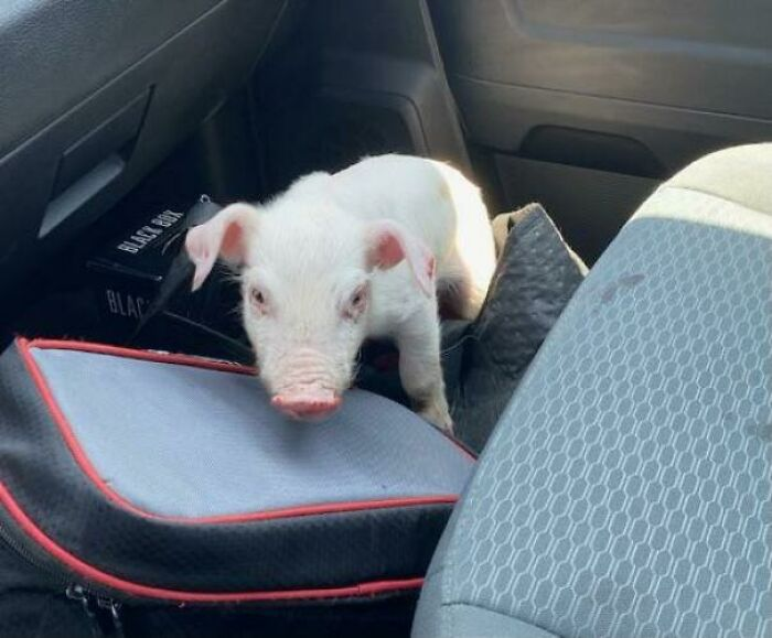 Friend Rescued Piglet Off Side Of The Highway Today