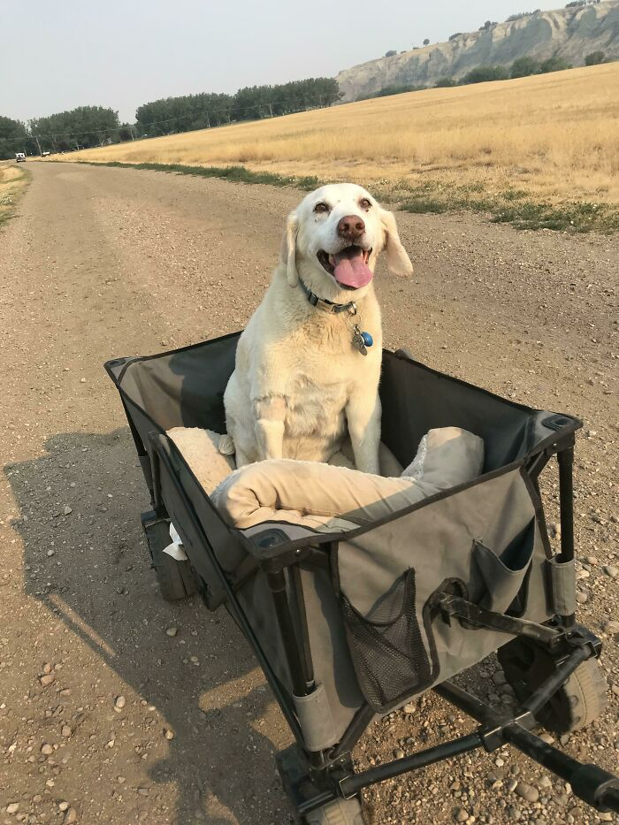 Jax Is 13 Years Young, He Can't Walk Very Far Nowadays But Would Be Heartbroken If We Didn't Take Him For A Walk. So We Pull Him In His Wagon