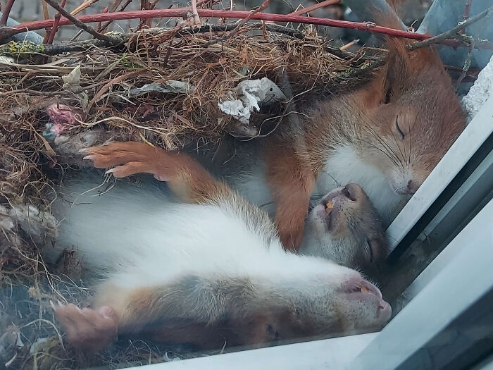 Guy Spots The Most Adorable Little Squirrels Napping Just Outside His Window