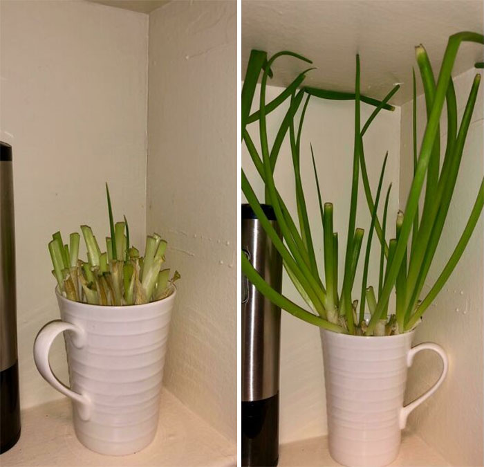 Learned This From My Mom. Everytime You Buy Chives/Green Onion Just Cut Most Of It Off And Use Them Or Store Them In The Fridge. Then Put The Roots In A Cup With Half An Inch Of Water. Regrows Back To Full Size Or More Within A Few Days. Can Repeat Up To About 2-4 Times If You Have A Good Batch