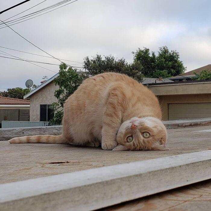 We Made It To 800 Followers?! 🙀 . . . #800followers #followforfollow #cataccount #catfollowforfollow #f4f #f4follow #qualitynotquantity #pearlyandmarly #orangecat #gingercat #gingersquad #brokencat #tabbycatlove #orangetabby #tabbycat #coicommunity #catsofinstagram #weeklyfluff #catstagram #orangecatsrock #gato #neko #kedi #orangecatsrule #かわいいねこ