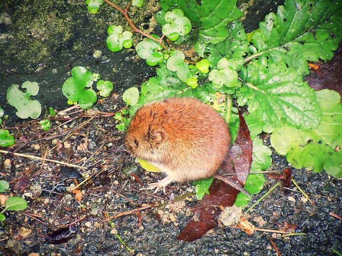 This Tiny Round Orange Mouse, Not Sure What Kind But The Cutest Lil Round Blob! 😍