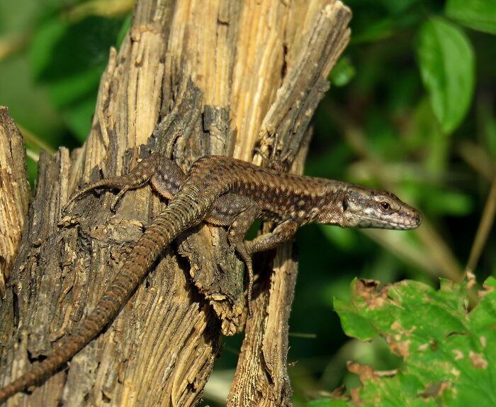 Cute Little Common Wall Lizard :d