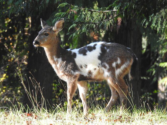 A Piebald Blacktail Deer Fawn