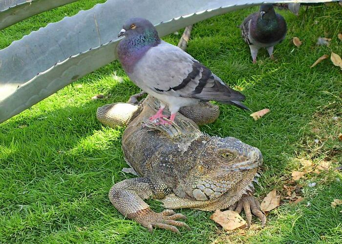 The Relation Between Pigeons And Iguanas Is Guayaquil, Ecuador.