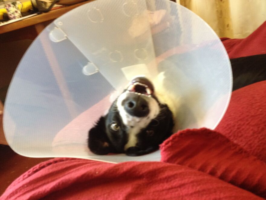 """This Is My Dog Shilo Still High On Meds Just Back From The Vets After Having The """"Snip"""". He Was Fine A Few Hours Later But When I Took This Photo He Was Tripping Around Jupiter."""