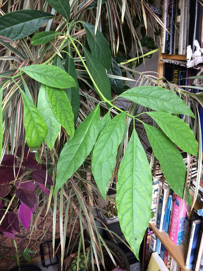 Avocado Tree - Sprouted From An Avocado That I Forgot In A Fridge. Now It Is About 4ft Tall And Thriving!