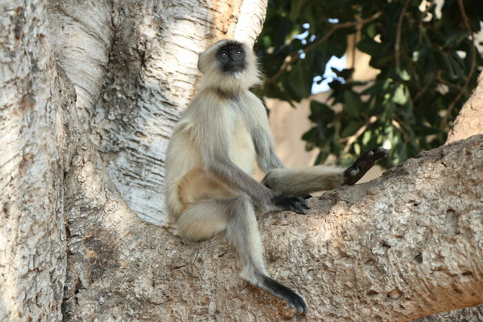 Grey Langur In A Moment Of Rest