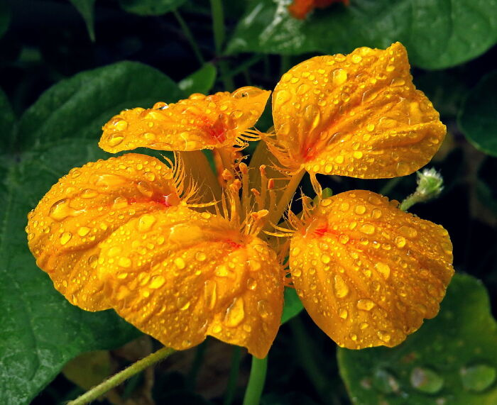 Nasturtium - Many Beautiful Flowers, Persistent , Even Edible :):)