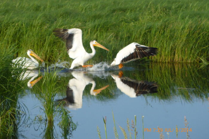 Pelicans See Camera, Take Off