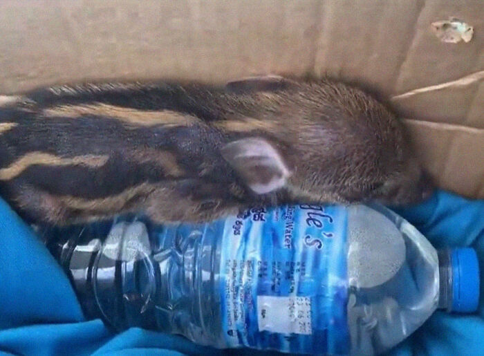Woman Takes A Wild Baby Boar Into Her Family After She Finds It In A Box At Her Doorstep
