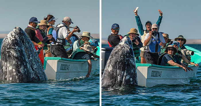 Photographer Spots Sneaky Grey Whale Next To Unsuspecting Whale Watchers